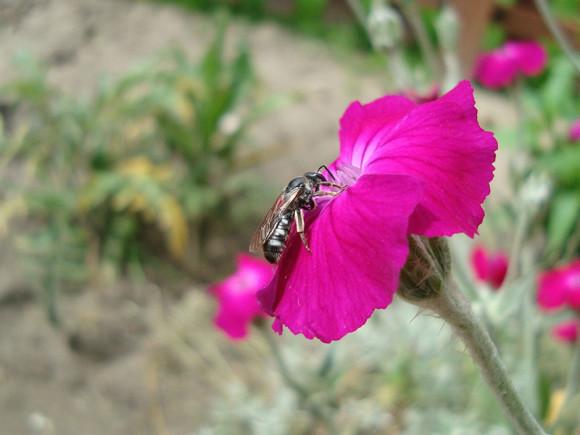 Lasioglossum sexnotatum, smuklikowate