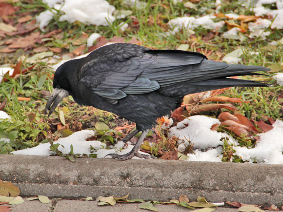 Gawron (Corvus frugilegus)