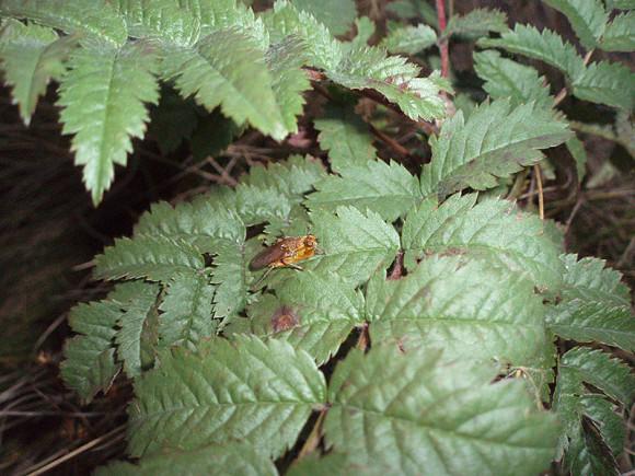 Rudzica nawozowa, Cuchna nawozowa, Muchówka, Scathophaga stercoraria