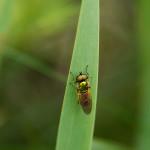 Sarginae, Chloromyia formosa, Zielonucha kształtna - samiec