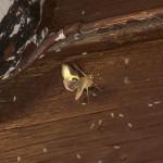 Błyszczka spiżówka - Diachrysia chrysitis