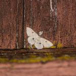 IMG_2096_sm_swierzbik-bialokropek-(Cyclophora-albipunctata)