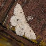 IMG_2098_sm_swierzbik-bialokropek-(Cyclophora-albipunctata)