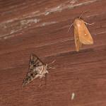 IMG_2124_sm_Piętnówka-kapustnica-(Mamestra-brassicae)i piętnówka białokropka