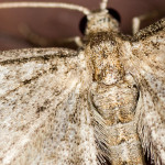 IMG_2172_sm2-Grotnik-nawłociak-(Eupithecia-virgaureata)