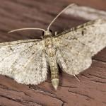 IMG_2172_sm_ Grotnik nawłociak (Eupithecia virgaureata)