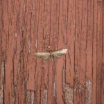 IMG_2211_sm_Grotnik-nawłociak-(Eupithecia-virgaureata)