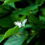 IMG_1272a_smLomaspilis-marginata-Plamiec-nabuczak