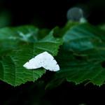 IMG_1274_sm_ciemnokres-dwuplamek_Lomographa-bimaculata