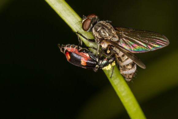 Anthocomus fasciatus