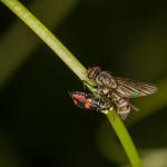 Anthocomus fasciatus,