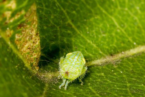 Fieberiella septentrionalis - larwa