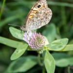 Osadnik megera (Lasiommata megera)