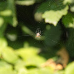 img_2736-sm-krzyzak-ogrodowy-na-sieci