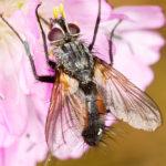 IMG_1503-Eriothrix-rufomaculata-sm