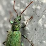 IMG_8772_Phyllobius-(moze-arborator)