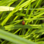 Subcoccinella vigintiquatuorpunctata - Owelnica lucernianka - IMG_8231_sm_
