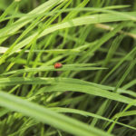Subcoccinella vigintiquatuorpunctata - Owelnica lucernianka_IMG_8232