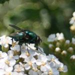 _sm_cObraz-168mucha-mięsna--Lucilla-sp.-z-rodziny-plujkowatych(Calliphoridae)-muchówki