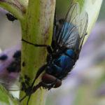 _sm_cPlujka-pospolita-(Calliphora-vicina)---mucha-niebieska