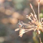 Cacyreus marshalli_IMG_5040a_sm