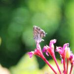 Cacyreus marshalli_IMG_5056a_sm