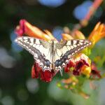 Paź królowej (Papilio machaon)_IMG_5065a_sm